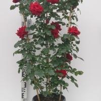 rosenspalier-t26-3-min-1-200x200